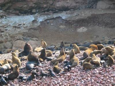 Lobos marinos en Islas Ballestas