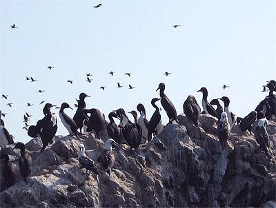 Miles de aves tapizan las islas de guano