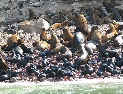 Leones marinos saturan las calas