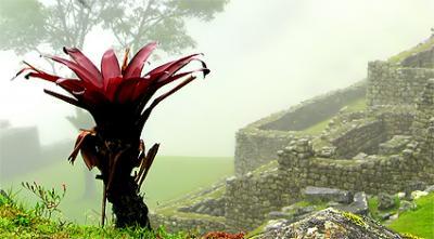 Macchu Picchu Flower